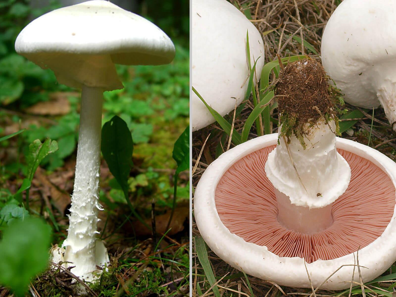 snehvid fluesvamp champignon forveksling