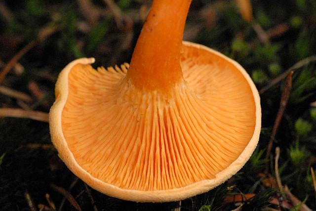 Almindelig Orangekantarel1