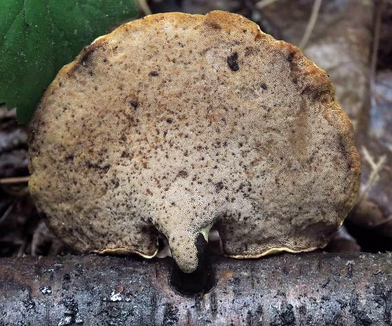 Foranderlig Stilkporesvamp porer