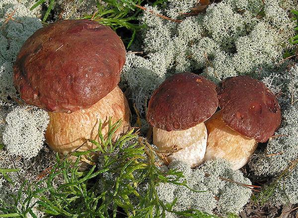 Rødbrun Rørhat svampe