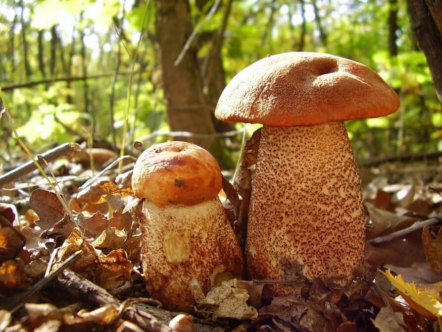 Rustrød Skælrørhat svampe